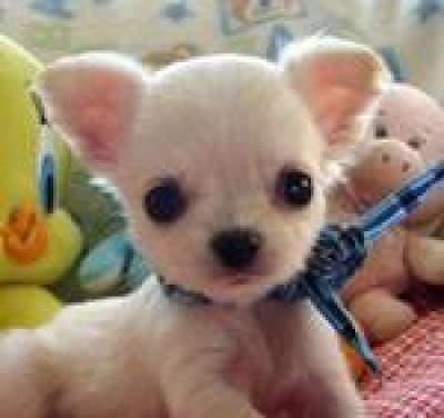 background-pictures.feBlack Long Haired Chihuahua Puppy On White
